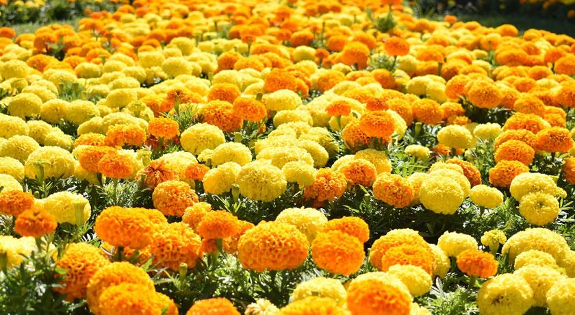 Bali – Marigold fields forever at Desa Temukus
